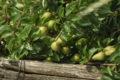 Bonny sur loire – vergers de Beaumont – 28 juin 2017 (3) – OT Terres de Loire et Canaux -I.Rémy