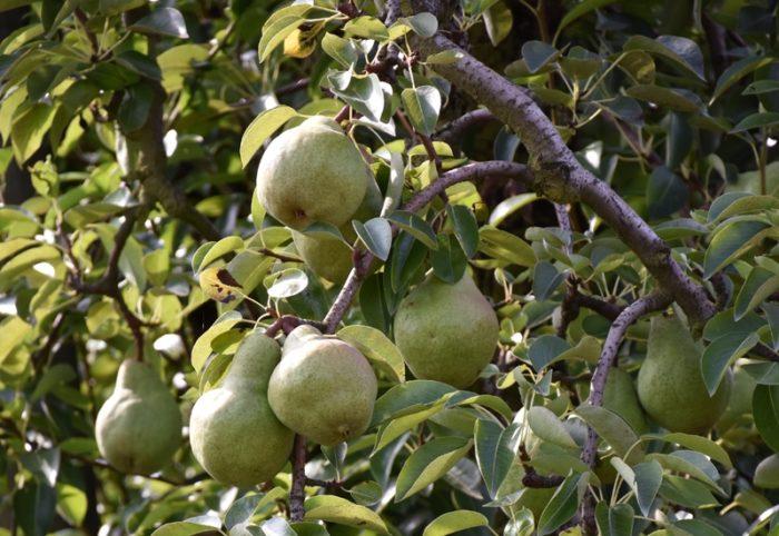 Bonny sur loire – vergers de Beaumonts- poirres – 1er aout 2018 – OT Terres de Loire et Canaux -IRémy  (2)