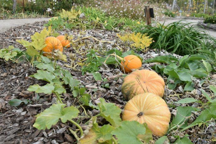 La Bussière – Château –  jardin citrouilles – 2 octobre 2018 – OT Terres de Loire et Canaux – IRémy (41)