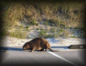 castor-beaver-143703-1920-4