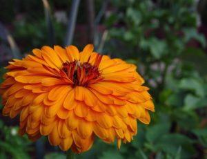 marigold-3560214-1920