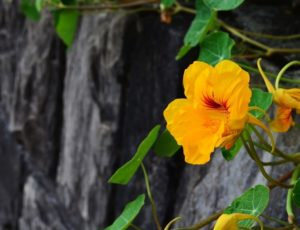 nasturtium-1643964-1920–fleurs-comestibles-2