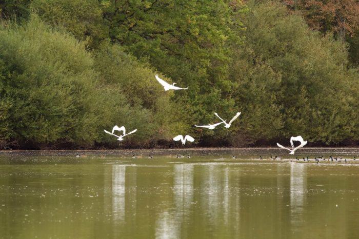 Ouzouer sur Trézée-Gite du canal la Gazonne-aigrettes sur l'étang de la Gazonne