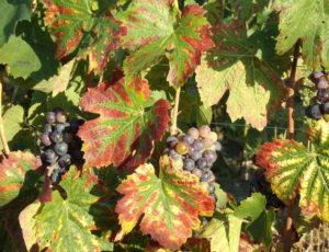 Roblin Florian – Beaulieu sur Loire – vigne 22 août 2015 (13)